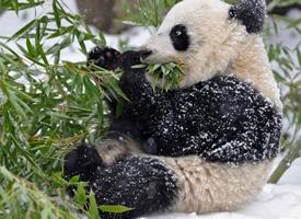 惹人喜爱的熊猫图片欣赏