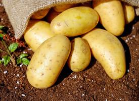 刚出土的新鲜马铃薯图片