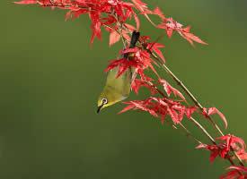 美丽的绣眼鸟图片欣赏