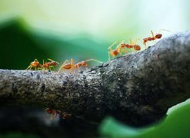 勤劳朴实的蚂蚁微距离拍摄图片