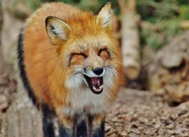 一组机灵狡猾的狐狸图片