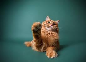 一只胖胖的橘猫图片欣赏