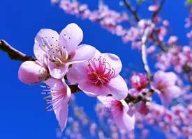 三月桃花开季高清桌面壁纸