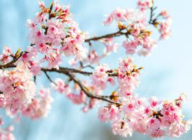 绝美樱花微距高清桌面壁纸