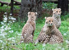 威猛迅速的的捷豹图片欣赏