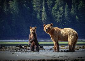 一组哥伦比亚灰熊图片图片