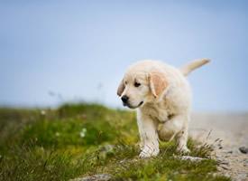 呆萌可爱的金毛犬图片