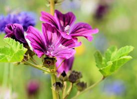 淡雅的金葵花图片唯美