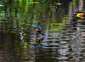 在百花潭拍摄的翠鸟图片