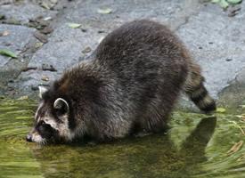 顽皮可爱的小浣熊图片欣赏