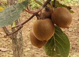 营养丰富的树上猕猴桃图片