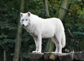 可爱的白色野狼图片欣赏