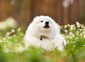 一组爱笑的萨摩耶狗狗图片