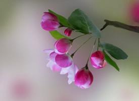 清新美丽的海棠花图片
