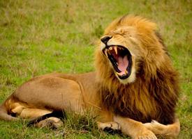 非洲威猛雄狮霸气怒吼图片