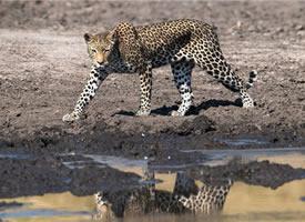 想吃鱼的豹子图片欣赏