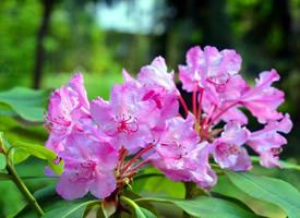 花色各异的杜鹃花图片欣赏