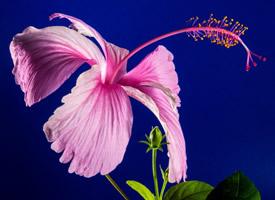 盛开的妖艳锦葵木棉花图片
