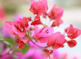 鲜艳美丽的三角梅花图片