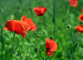 艳丽的大红色罂粟花图片