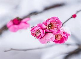 唯美雪梅花卉图片高清手机壁纸