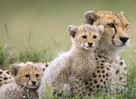 目露凶光丛林猎豹图片欣赏