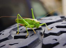 一只绿色蚱蜢高清图片欣赏