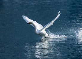 姿态优雅的白天鹅图片