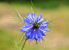 小清新淡雅的紫色蓝星花图片