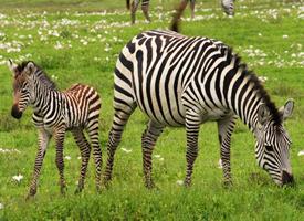 非洲草原斑马图片大全