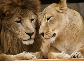 一组超腻歪的的两只狮子