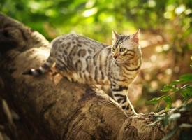 一组帅气的豹猫图片欣赏