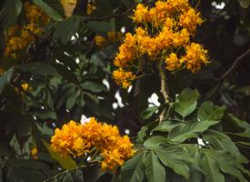 一组佛教圣花无忧花图片
