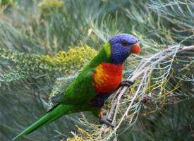 漂亮的彩色鹦鹉图片