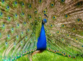 孔雀开屏高清图片欣赏