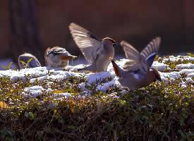 一组可爱机灵的太平鸟图片
