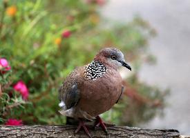 一组野鸽子伫立图片