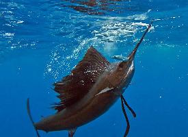 游泳速度很快的旗鱼图片