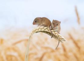在小麦上可爱的小老鼠图片