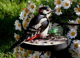 任劳任怨的啄木鸟图片