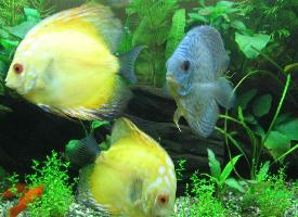 色彩艳丽丰富的七彩神仙鱼图片