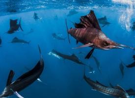 游来游去的旗鱼图片