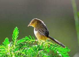 小鸟柳莺图片