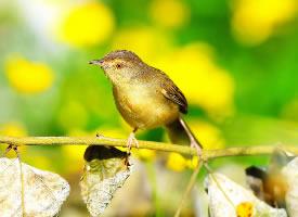 一组可爱的柳莺图片