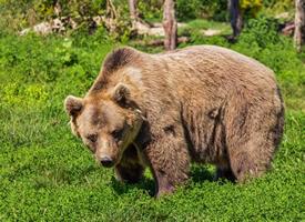 健硕的棕熊图片大全