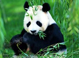一组憨态可掬的熊猫图片