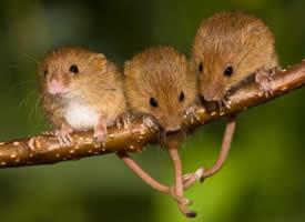 成群的小老鼠图片欣赏