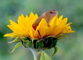 喜欢花朵的小老鼠图片
