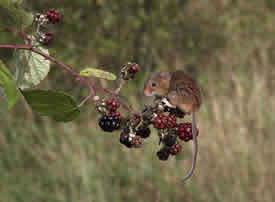 在植物上玩耍的小老鼠
