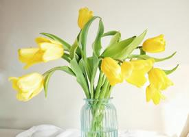 一组黄色郁金香形态美图片